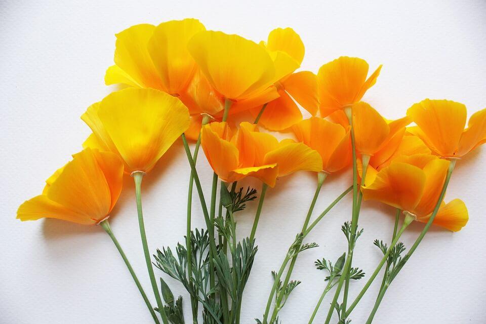 poppies-1438870_960_720