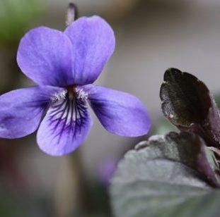 violet-4978497_1920-e1585691332262-633x310
